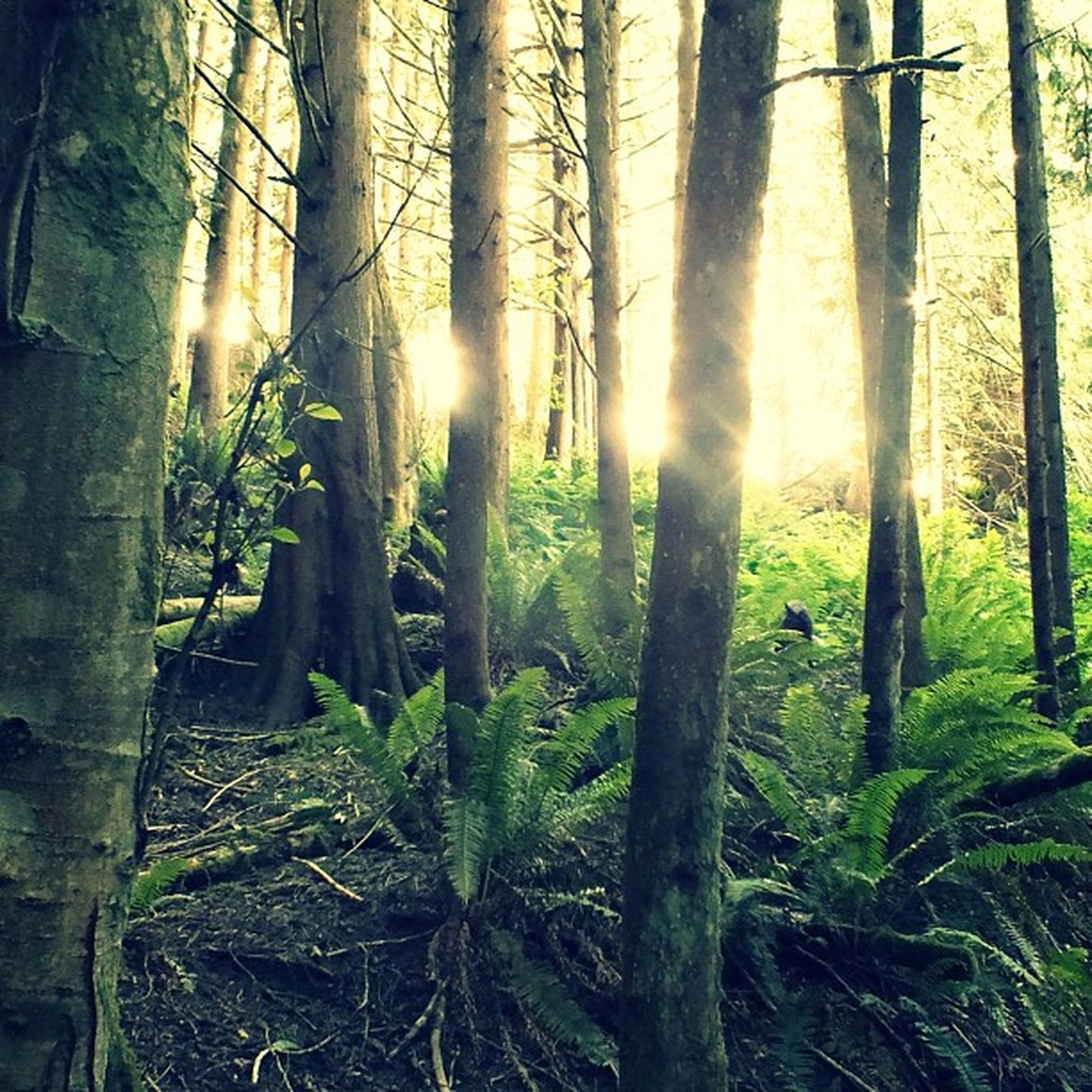sun, tree, tranquility, sunbeam, sunlight, forest, tree trunk, tranquil scene, growth, nature, woodland, lens flare, beauty in nature, scenics, back lit, landscape, non-urban scene, sunset, branch, field