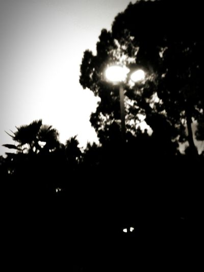 Twighlight Through The Trees Sillouette Norcal My Cali Monochrome Black And White Dixon California