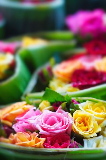 Close-up of multi colored roses