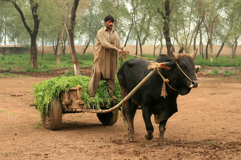 Collecting Fodder by bullock and cart, Okara, Pakistan Bullock Bullock And Cart Old Fashioned Animal Wildlife Casual Clothing Day Domestic Domestic Animals Fodder Full Length Herbivorous Land Livestock Mammal Men Nature Old Ways One Person Outdoors Plant Real People Riding Standing Tree Vertebrate