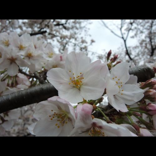 Flower Nature Blossom Outdoors Sakura Sakura 2017 Taking Photos Nikonphotographers Beauty In Nature Cherry Blossom Tree Cherry Blossom Viewing