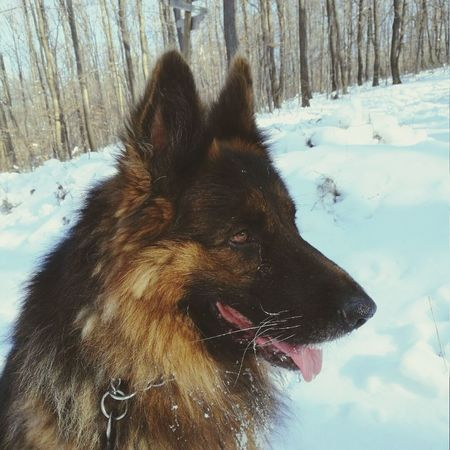 Snow Winter Mammal Dog Germanshepherd German Shepherd Gonzo EyeEmNewHere EyeEm New Here