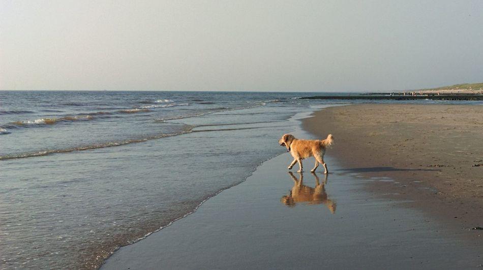 Dog Beach Summer Summer Dogs Goldenretriever Golden Retriever Summer Views