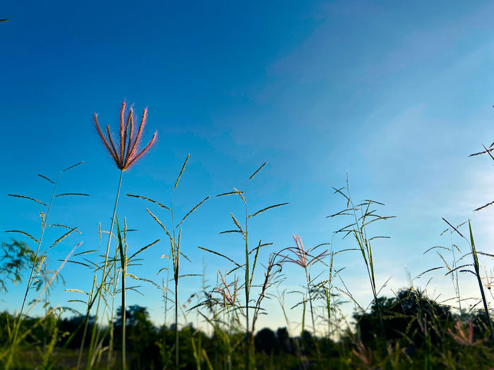 Low angle view of plants on field against blue sky