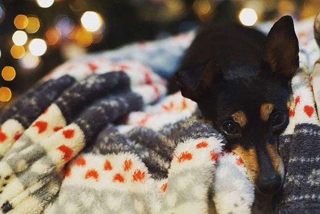 Xmas Rescue Rescuedog Pinscher Minipin Zwergpinscher Puppy Dog Cagnolino Plaid Pile Bokeh Italy Brunette