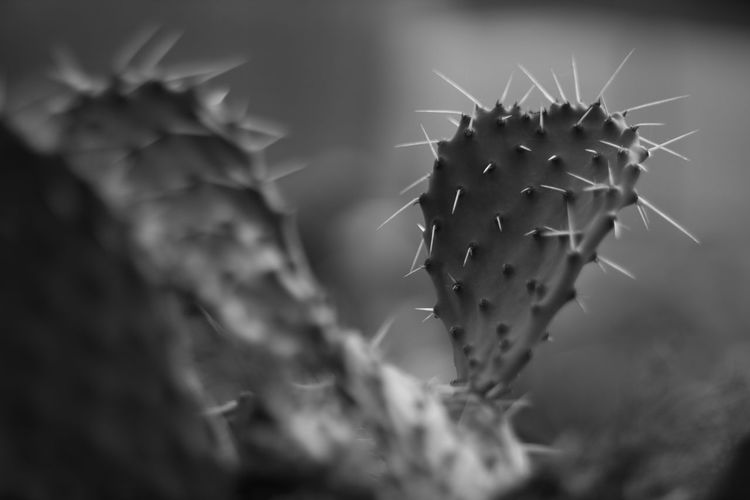 Cactus Beauty In Nature Black Black And White Botany Cactus Close-up Desert Focus On Foreground Fragility Growth Harsh Light Nature Plant Plant Plants Selective Focus Shadow Sharp Spiked Spring Sun Thorn White Wildlife