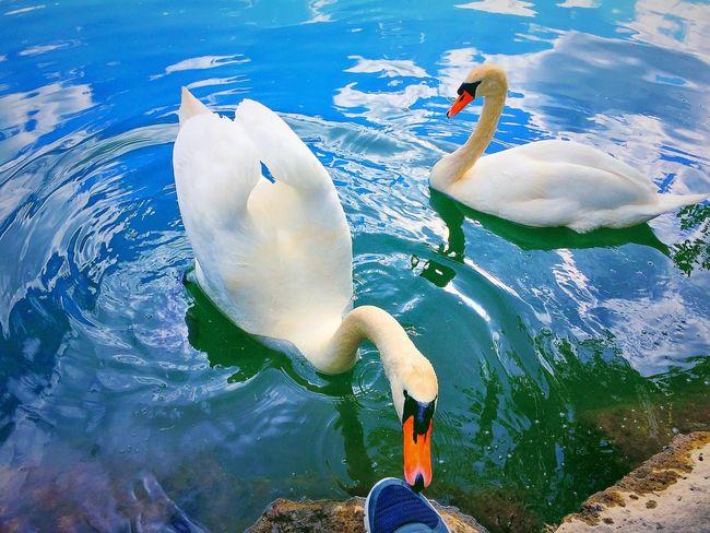 Nature Birds Oiseaux Cygnes En Balade Sur Le Chemin Au Bord De L'eau Cygne
