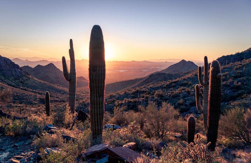 Saguaro cactus growing in desert against sky during sunset