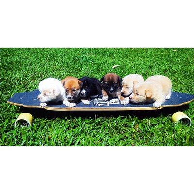 My super babies enjoying their ride. Puppies Dogs Longboard Happiness love cute