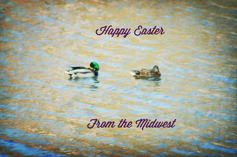 The ducks were farther away then my poor camera could truly focus but I hope you can see how pretty they were and that you have a blessed Easter Sunday!