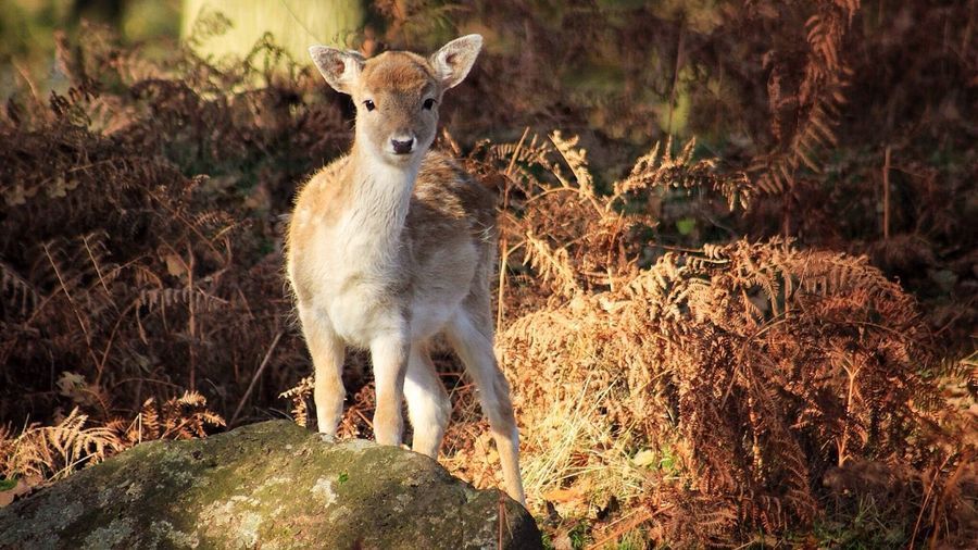Fawn Deer Deers Fallow Fallow Deer Wildlife Wildlife & Nature Wildlife Photography Autumn Autumn Leaves Autumn Colors Curious Curiousity Cute Cute Animals Bradgate Park Leicestershire