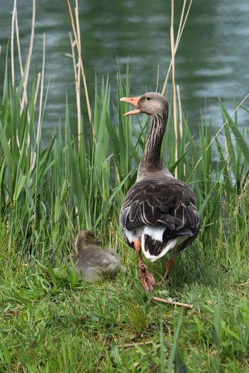Duck on lakeshore
