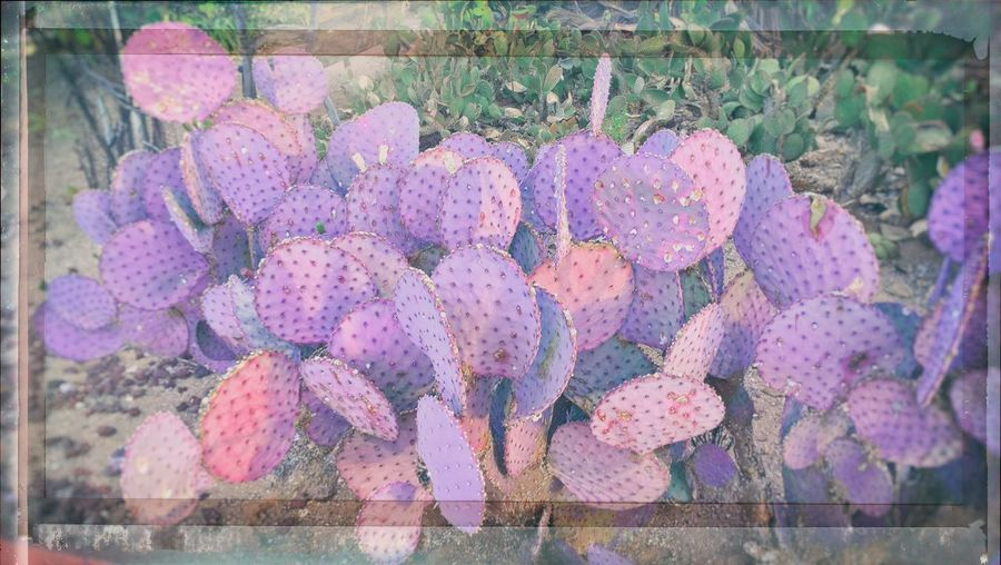 Abundance Beauty In Nature Berry Fruit Cactus Close-up Day Food Food And Drink Freshness Fruit Growth Healthy Eating Nature No People Outdoors Pink Color Plant Purple Ripe Succulent Plant Transfer Print Wellbeing