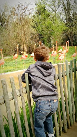 flamingos and boy Field Trip Boy Zoo EyeEmNewHere Flamingo Rear View