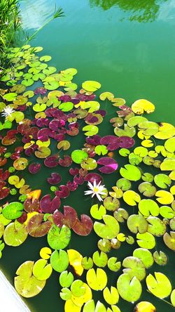 Lilypads Water Lily Lily Pond Lily Pads Lily Pond Life Ponds Learn & Shoot: Simplicity
