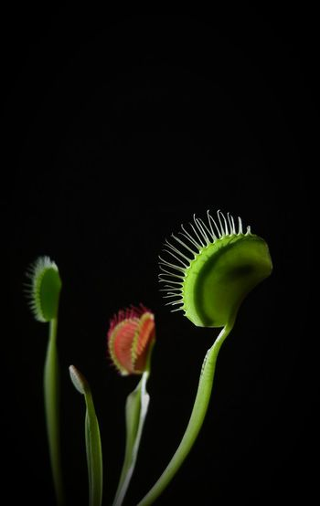 Flytrap Venusflytrap Carnivorousplant Carnivore Meateaters Flies Dead Trapped Deathtrap Digestion Plantfood Transparent See-through Lit Up Fly Silhouette Plant Plants Botany Close-up Consumed Pivotal Ideas Eyeemphoto
