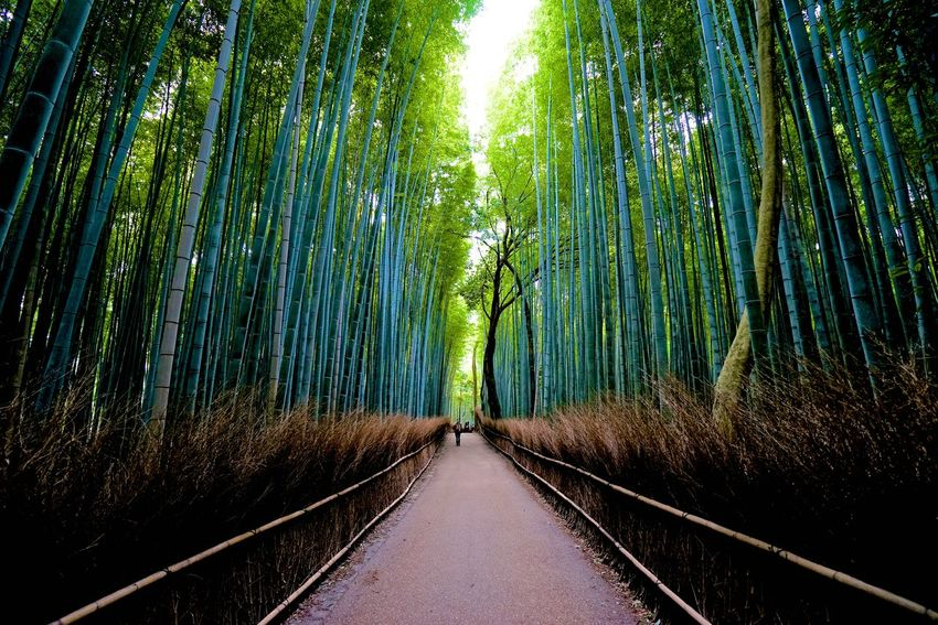 Arashiyama Bamboo Grove. BY SONY A7R Arashiyama Arashiyama Bamboo Grove Japan Bamboo - Plant Bamboo Grove Beauty In Nature Day Forest Green Color Growth Kyoto Nature No People Outdoors Scenics The Way Forward Tree