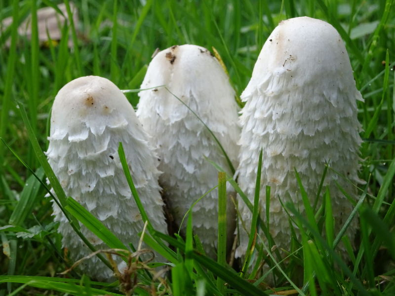 Cluster Grass Group Of Mushrooms Inedible Inedible Mushrooms Mushrooms Non-edible Mushroom Outdoors Outside Outside Photography Maximum Closeness