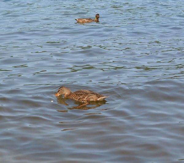 Duck Nature Outdoors On A Nice Day Lake George NY Photography Nikonphotography