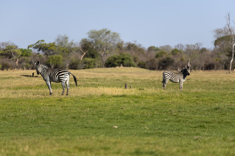 View of zebra on field