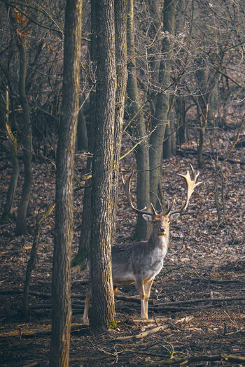 Stag standing by trees in forest