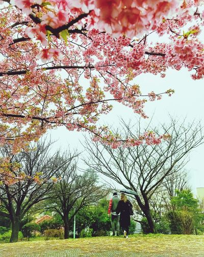 Spring walk Beauty In Nature Nature Grass Branch Tranquil Scene Tranquility Lifestyles Park Tokyo Tokyo,Japan Tokyo Street Photography Cherry Blossoms Cherry Blossom Cherryblossom Couple Cityscape City Life Spring Spring Is Coming  IPhoneography Iphone7plusphoto EyeEmNewHere
