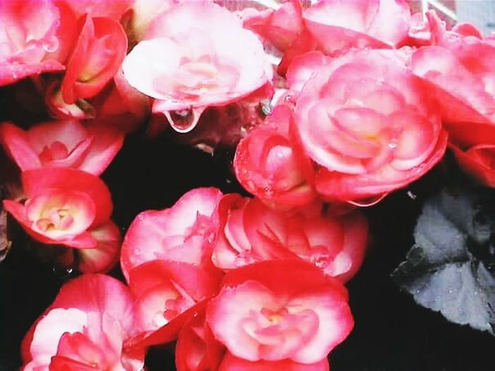 Close-up of water drops on red roses