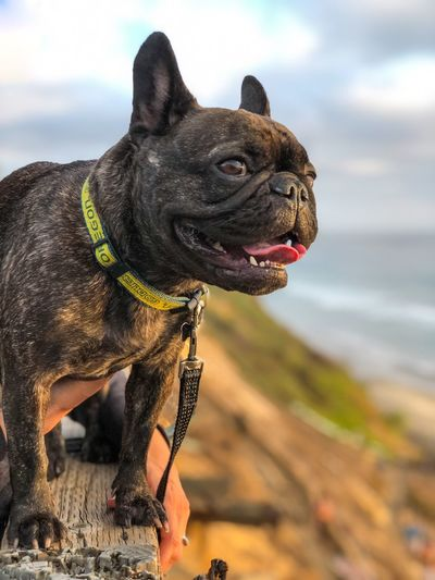 Bisou enjoying the sunset at Beacons Beach in Leucadia, California Frenchie Frenchbulldog French Bulldog California Encinitas San Diego One Animal Pets Domestic Animals Dog Domestic Canine Animal Themes Mammal Animal Sky Collar Vertebrate Pet Collar Cloud - Sky Nature No People Day Focus On Foreground Sticking Out Tongue Outdoors