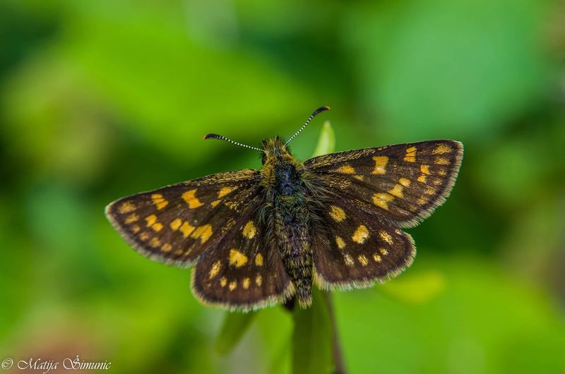 Resting buterfly. EyeEmNewHere Croatia Animals In The Wild Spread Wings Butterfly - Insect Full Length Insect Leaf Close-up Animal Themes Moth Wild Animal Animal Wing Butterfly Pollination Invertebrate