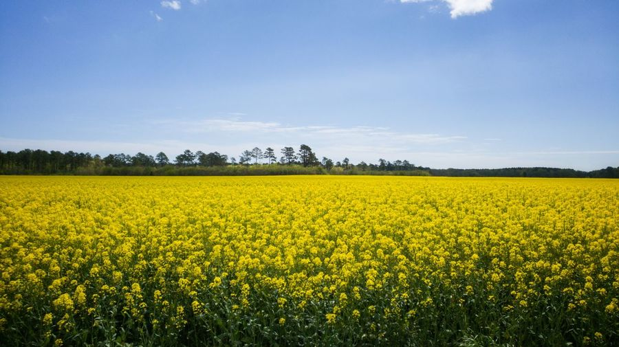 Field of mustard plants. Yellow Flower Yellow Color Yellow Mustard Fields Mustard Flower Tree Rural Scene Agriculture Yellow Field Crop  Farm Mustard Plant In Bloom Stamen Blossom Flower Head Blooming Cultivated Land Plantation Botany Wildflower Plant Life Pollen Stem Fragility Patchwork Landscape Agricultural Field Farmland The Mobile Photographer - 2019 EyeEm Awards