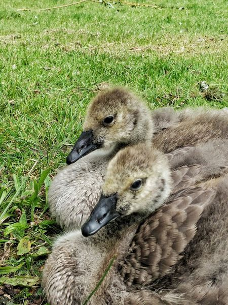 Geese Baby Geese Gosling Goslings Geese Goos Nature Young Life  New Life Birds