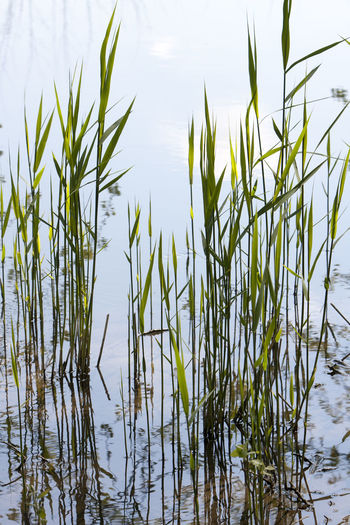 Reeds growing in water Aquatic Plant Beauty In Nature Botany Close Up Growing Growth Leaves Mirror Mirrored Nature Nature No People Outdoors Plant Reed Reeds Reflected  Reflection Stem Stems Water Water Reflections