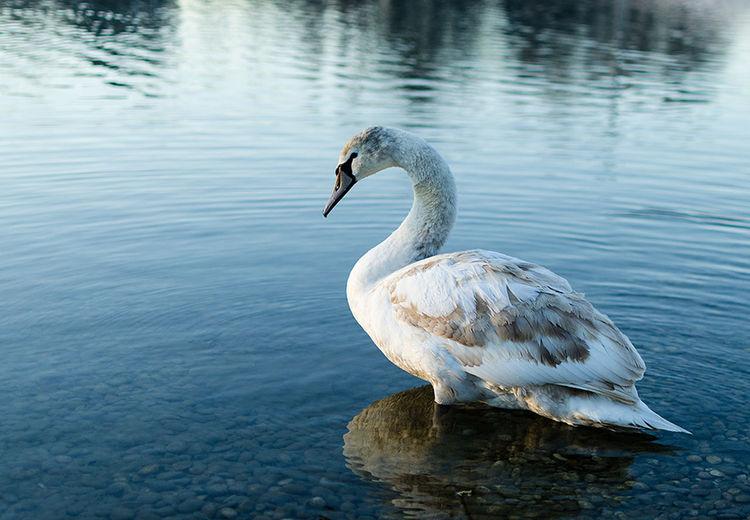 Negative Space Swan Animals Nature Bundek