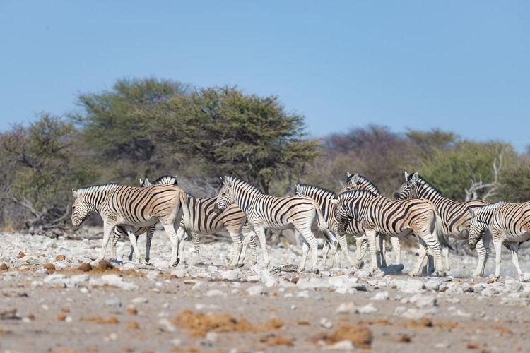Side View Of Zebras Walking On Field