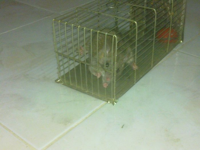 A rat Animal Animals Cage Close-up Day High Angle View Indoors  No People Prison first eyeem photo