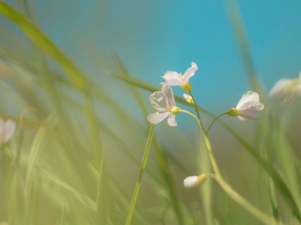 cardamine: einfach Lady's Smock Beauty In Nature Blooming Blossom Close-up Cuckoo Flower Cuckooflower Flower Flowers Focus On Foreground Grass Growth Meadow Meadow Flowers Nature Selective Focus