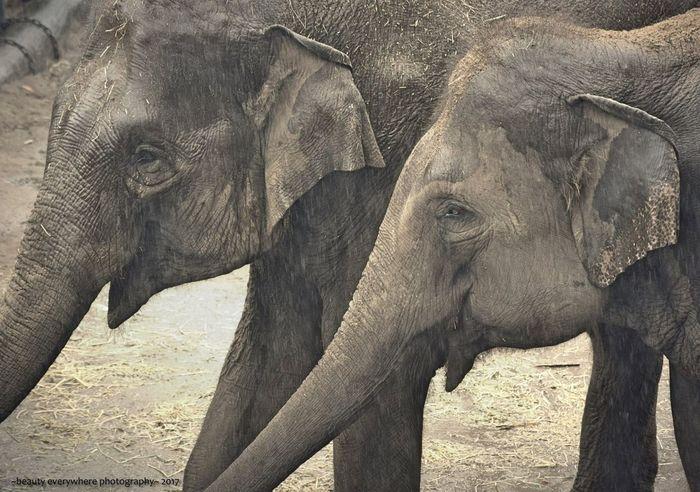 Bonded Elephants Animal Wildlife Animal Themes Mammal Safari Animals Two Animals Animal Trunk Outdoors Nature No People EyeEmNewHere