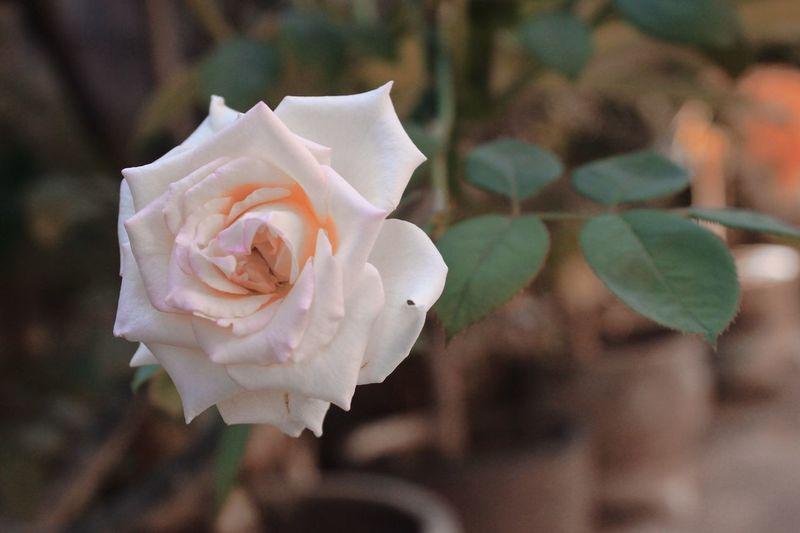 Rose gold.