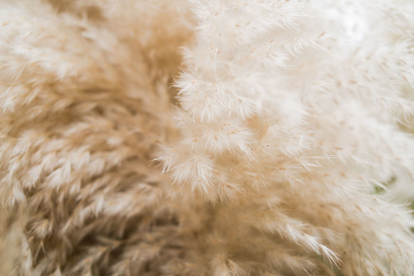 Autumn in Milan Autumn Grass Backgrounds Close Up Close-up Cortaderia Selloana Day Fluffy Hairy  Indoors  Nature No People Pampas Grass Pampas Grass Close Up Softness