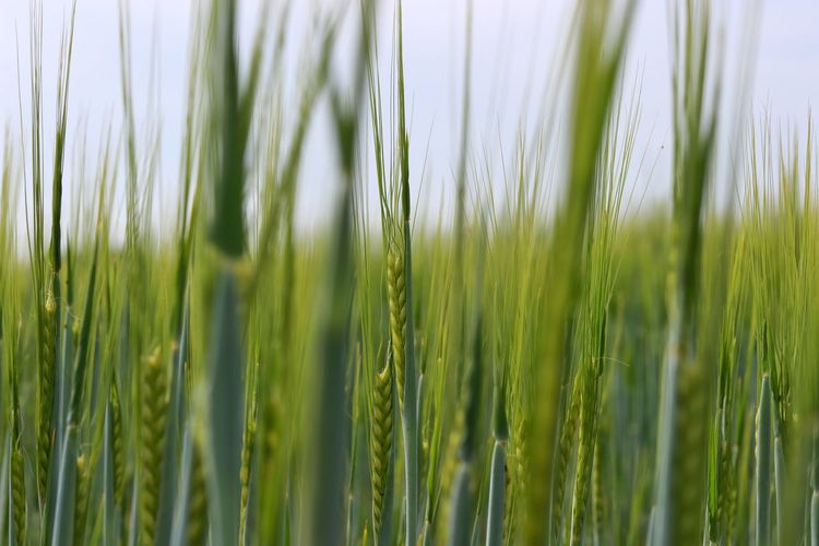 Beauty In Nature Beautiful Cereal Plant Wheat Rural Scene Backgrounds Agriculture Ear Of Wheat Full Frame Crop  Close-up Grass Growing Young Plant