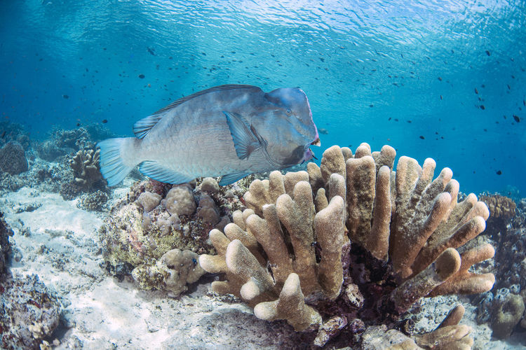 Bumphead Parrotfish Animal Wildlife Animals In The Wild Animal Underwater Animal Themes Sea Water Sea Life UnderSea Marine Fish Swimming Coral Invertebrate Vertebrate No People Nature Reef Group Of Animals Ecosystem  Malaysia Marine Life Wide Angle Bumphead Parrofish