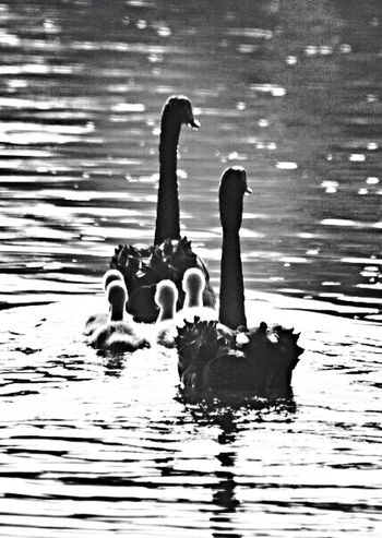 Shades Of Grey I know I posted this before, but I do love the Black and White of these Black Swans with there Signets. How to keep a family in line. EyeEm Nature Lover Swan Black And White Friday
