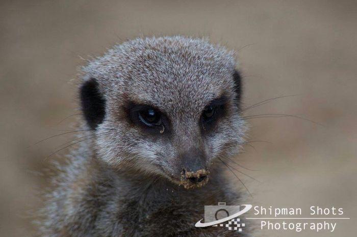 Meerkat Meerkats Animals Zoo Zoophotography Wildlife & Nature Wildlife Photography Photography Wildlife Sand Sandy Nose