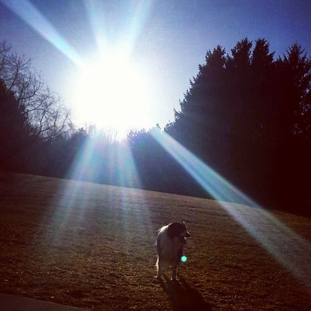 """""""Truth is like the sun. You can shut it out for a time. But it ain't goin' away."""" -Elvis Presley English Shepherds Blackandwhite Dog Nature_perfection Beauty In Nature Dogslife Dogs Dogs Dogs Puppy Love Modeldog  Sunray Sunrays Summertime Orbs Orb Simple Dog Picture Silhouette"""
