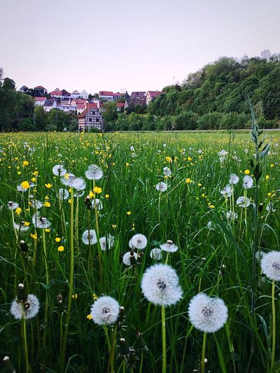 View of a small village from a dandelion field Growth Nature Beauty In Nature Grass Field Flower Plant Tranquility No People Day Outdoors Green Color Tranquil Scene Fragility Freshness Clear Sky Scenics Close-up Flower Head Sky Houses Village View Landscape Lovely
