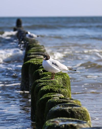 ......Möve nahe der Seebrücke des Seebades Bansin...... Gull Bird Baltic Sea Water Animal Animal Themes Animal Wildlife Vertebrate Bird Animals In The Wild First Eyeem Photo
