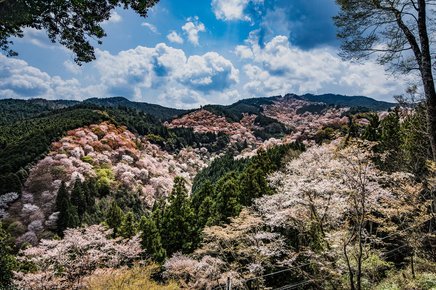 Yoshino mountain cherry tree A scene that you can see over 1,000 cherry blossoms at first glance. Cherry Blossoms Cloud Nature Nikon Sigma Cherry Tree Forest Landscape Mountain Mountain Range Nature No People Outdoors Sky Spring Leaves Tree Yoshino Mountain