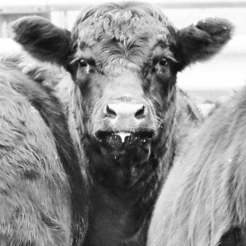 Cow Cow Blackandwhite Cows Farm Farms Farmanimals Farmanimalsofinstagram Farmer Farmers Iowa MidWest Heartland Clarenceiowa Tiptoniowa Moo Cowsofinstagram Cows Iowafarm Iowafarms Farmtography FarmPhotography Aroundiowa Blackandwhitephotography Blackandwhitephoto Photography photographer farmphotographer 305photographer miamiphotographer miaphotographer bnw_captures