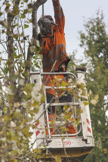 Man cutting black poplars with lift - Populus nigra italica Cutting Gardening Pruning Tree Tree Work Trees Worker Working Chainsaw Cottonwood Trees Deforestation Forest Full Length Lumber Industry Lush Foliage Manual Worker Occupation One Person Orange Color Protective Workwear Saw Tree Cutting Tree Worker Trimmer Unrecognizable Person