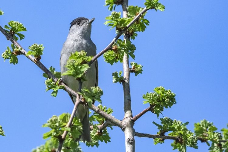 Black cap bird Black Cap Bird Birds_collection Bird Photography Birds Of EyeEm  Birds Birding Beautiful Bird Tree Perching Clear Sky Branch Blue Bird Of Prey Sky